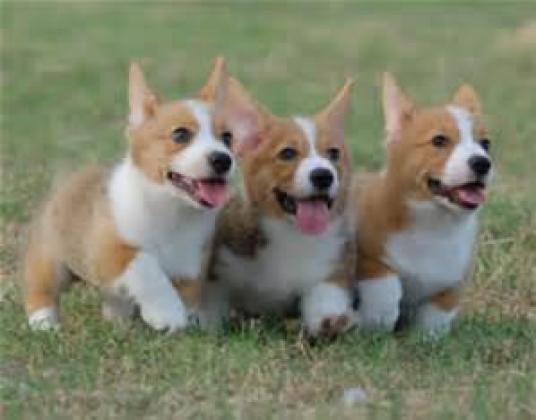 Pembroke Welsh Corgi puppies in ,