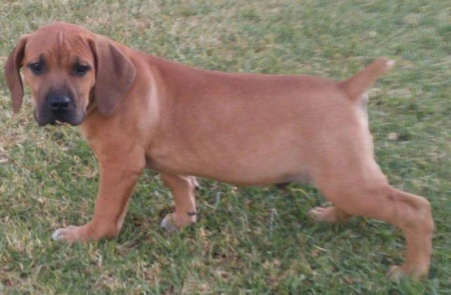 Purebred boerboel puppies for sale @ SPECIAL PRICE!!! in Port Elizabeth, Eastern Cape