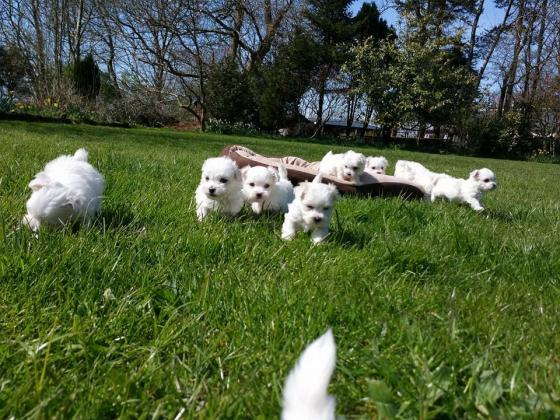 Registered Teacup Maltese Puppies