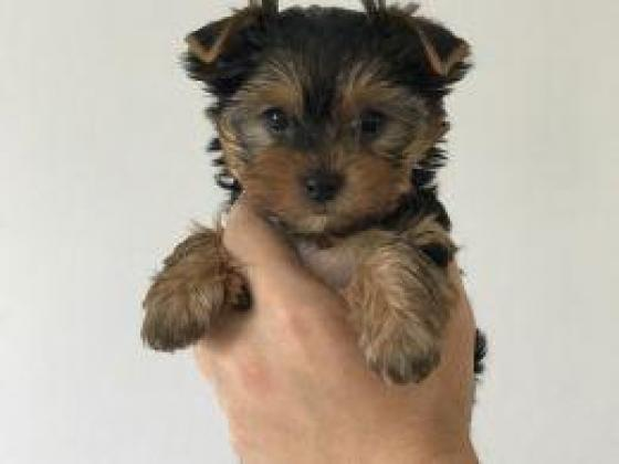 Small Baby Face Yorkshire Terrier Puppies For Sale