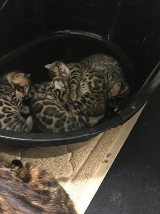 Stunning Rossetted Bengal Kittens