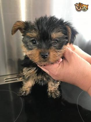 Yorkie puppies in East London, Eastern Cape