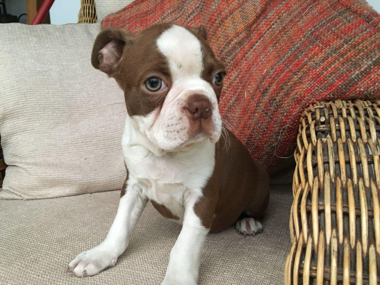 free boston terrier puppies boston terrier puppies for sale east london public ads 5129
