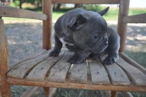 French Bulldog Dogs Or Puppies For Sale In South Africa Public Ads