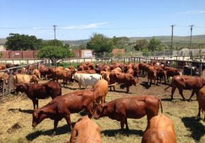 Cattle and live stock for sale