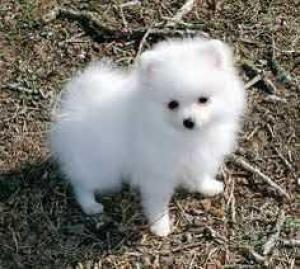Pomeranian Dogs Or Puppies for sale in Kwazulu-Natal | Public Ads