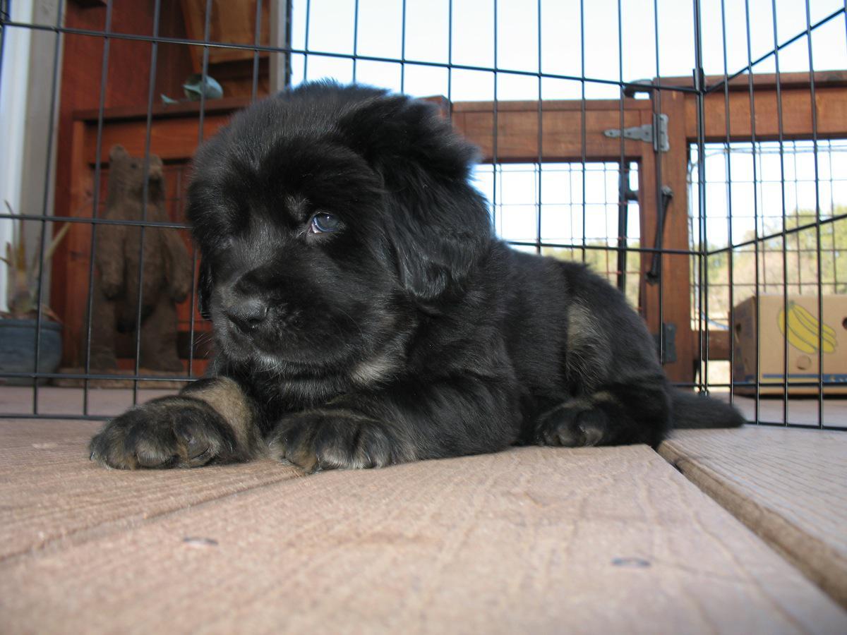 Stunning litter of 100 purebred Tibetan mastiff puppies