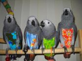 African Grey, Scarlet macaw, Blue and Gold Macaw, Hyacinth Macaw, Scarlet