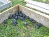 Aldabra tortoises (Geochelone gigantea) for sale