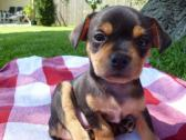 Beautiful Kc Reg. Chihuahua Female