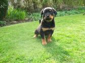 Beautiful Rottweiler Pups for adoption