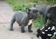 Beautiful solid blue french bulldog pup for sale!