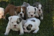 English bulldogs Puppies For Sale in South Africa