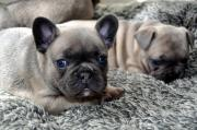 French Bull Dog puppies ready for a new home Call/Text   +(502)-414-3995