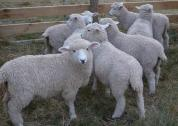 Goats, Sheep, Cattle, Pigs and Fertile Eggs Available