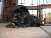 Stunning litter of 100% purebred Tibetan mastiff puppies