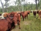 Varieties of Live Stock for sale Cows,Sheep and Goats