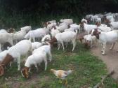 white savanna goats