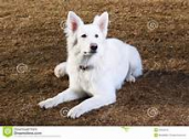White Swiss Sheppard puppies for sale
