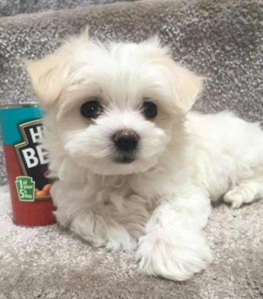 Lovely Maltese puppies for sale to loving homes.