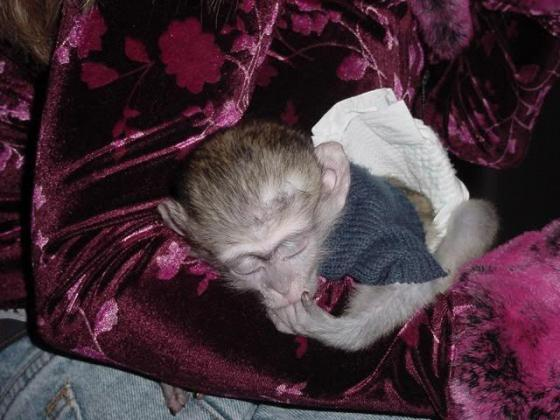 Active And Milky Baby Capuchin Monkeys