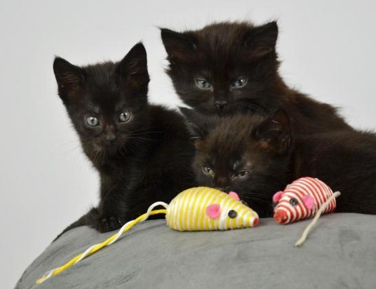 Affectionate Bombay Kittens Available