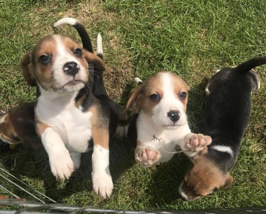 Beagle Puppies in Ladybrand, Free State