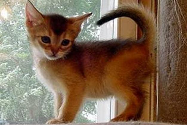 Beautiful Abyssinian Kittens - LOW COST, BEST QUALITY