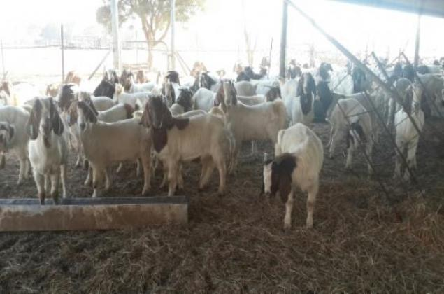 Goats,Sheep and Cattle for sale