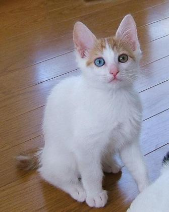 Cute Japanese Bobtail  Kittens Currently Available for sale