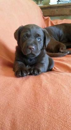 Gorgeous Chocolate Labradors