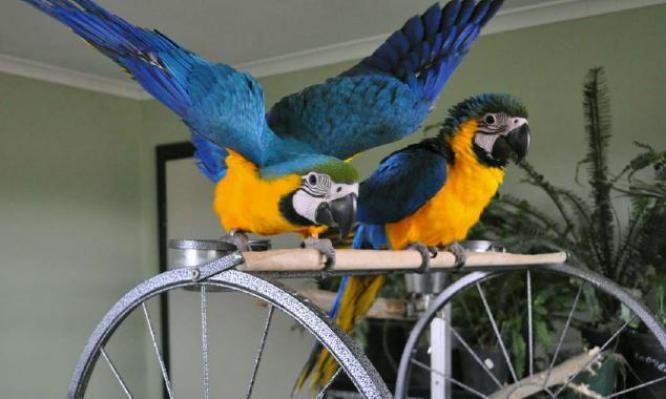 Fertile parrot eggs and birds for sale