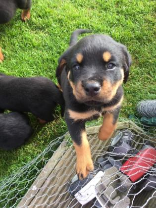 For sale! Rottweiller puppies