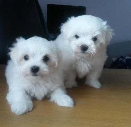Gorgeous maltese pups