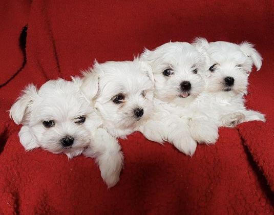 quality Maltese pups