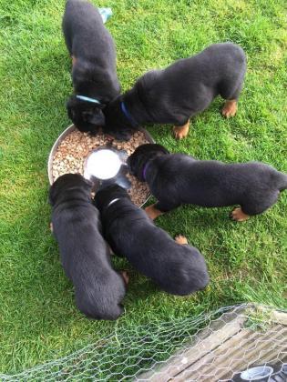 Stunning Rotweiller Puppies