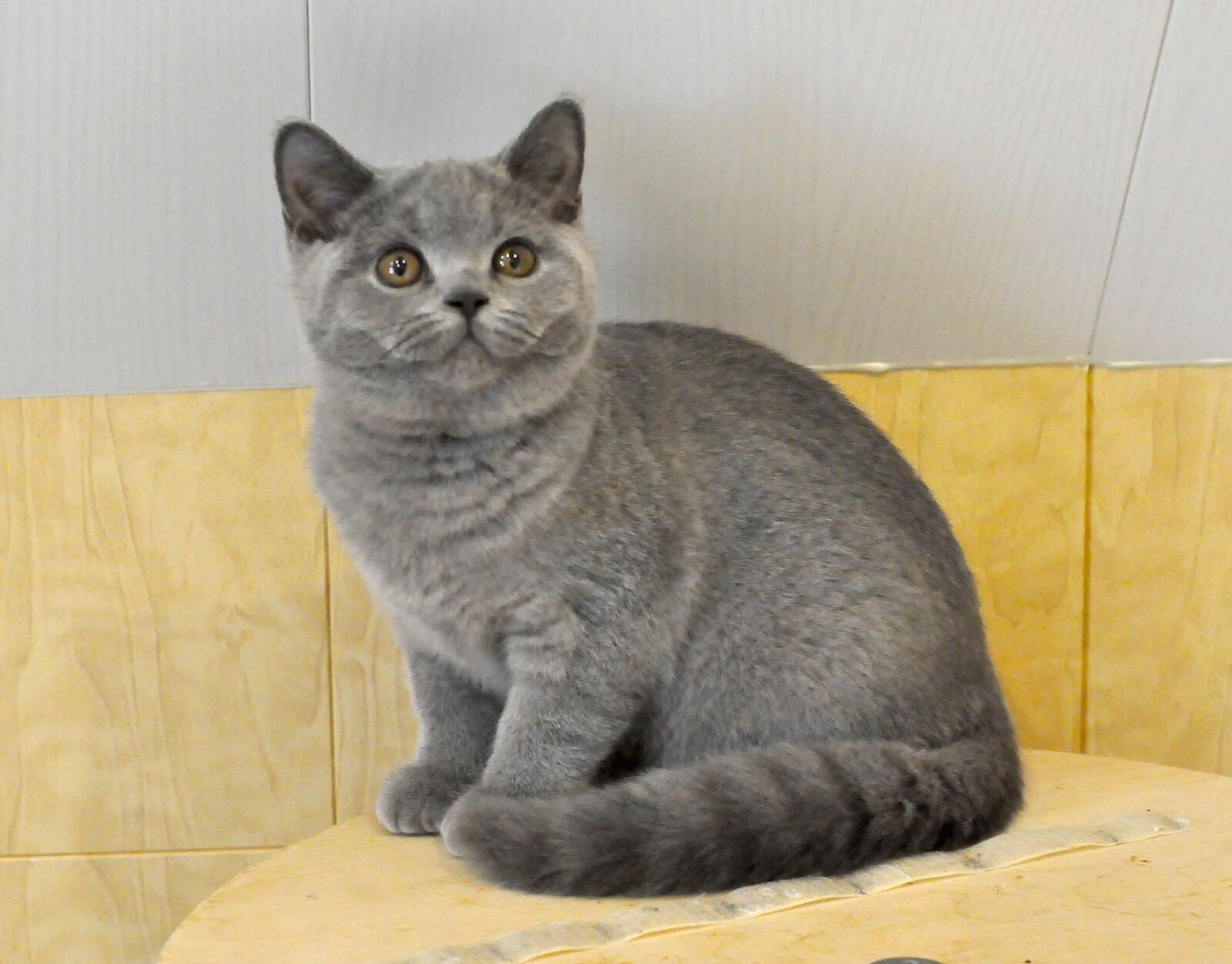 British Shorthair Purebred kittens! | Klerksdorp | Public Ads