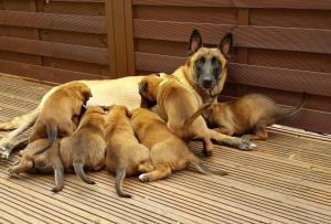 Belgian shepherd puppies available