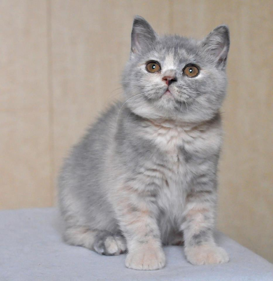 Perfect Family British Shorthair Kittens Cape Town