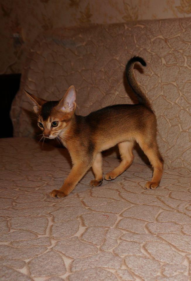Abyssinian Cat Kitten Sale