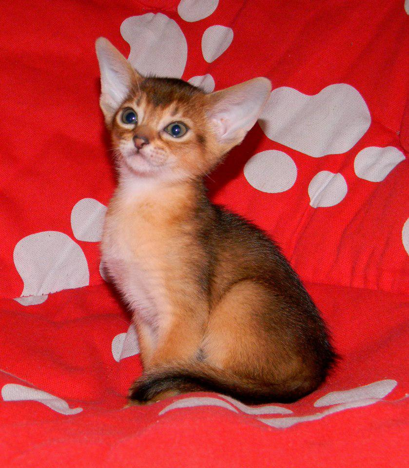 Purebred Abyssinian Kittens For Sale | Port Elizabeth | Public Ads ...