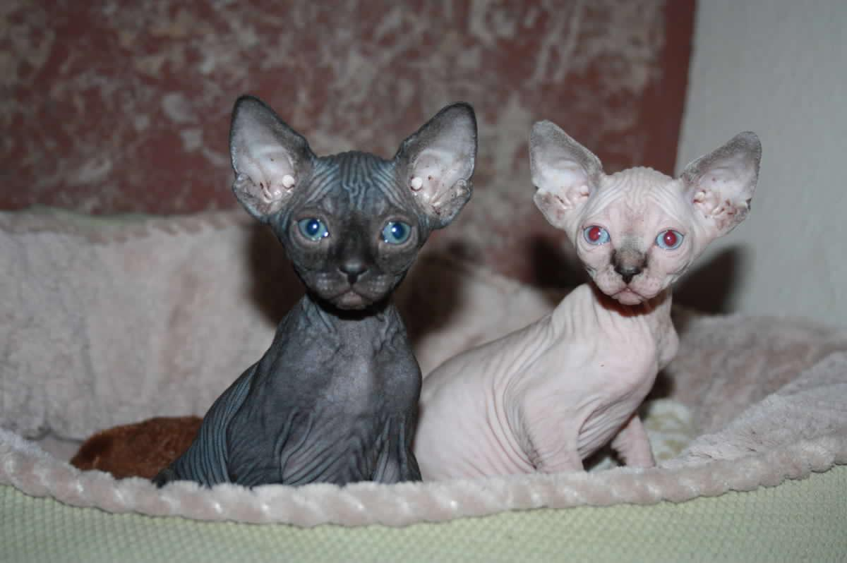 Sphynx kittens available | Cape Town | Public Ads Sphynx