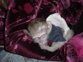 Active And Milky Baby Capuchin Monkeys