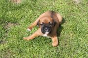 Adorable Boxer Puppies