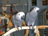 Afrcan Grey Parrots