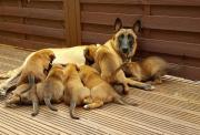 Belgian shepherd puppies available