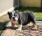 Gorgeous Rare Mini English Bulldog Puppies