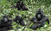 Gorilla watch in Uganda