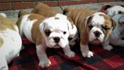 Male n female healthy British English bulldog puppies