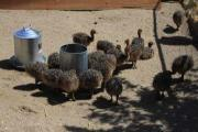 Ostrich Chicks and Fertile Ostrich eggs
